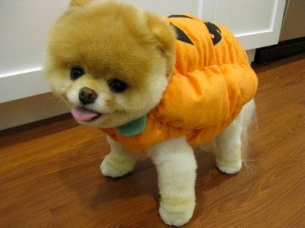 Boo-the-Cutest-Puppy-in-the-World-in-a-Halloween-Costume_large